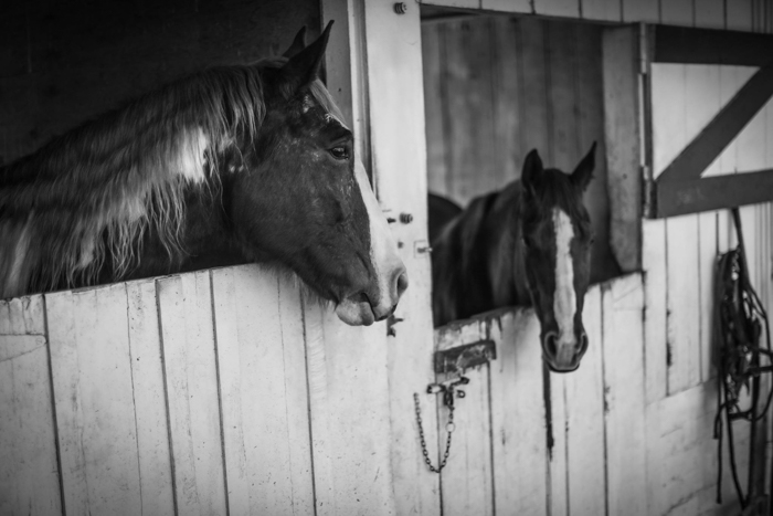 Black and white horse photography portrait of two horses looking out at each other from stable doors - equine photography tips