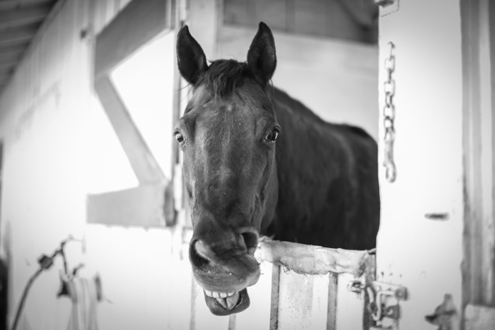 Black and white horse photography portrait of a horse looking out from stable door - equine photography tips