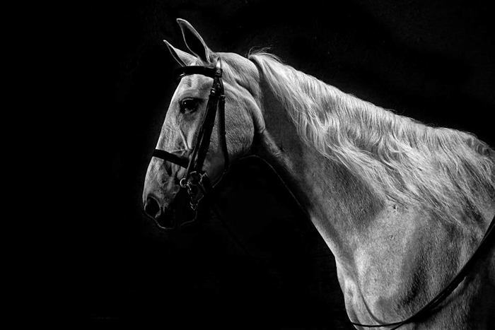 Black and white horse photography portrait of a white horse with dark background