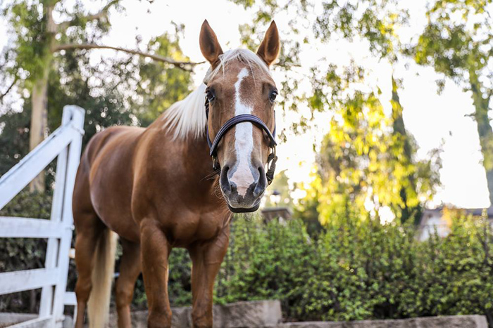 A horse photography portrait of a standing brown horse looking toward the camera