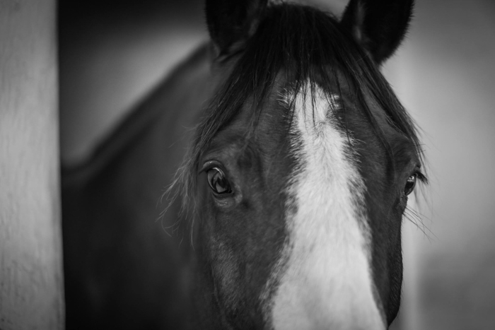 Black and white close up picture of a horse's upper head