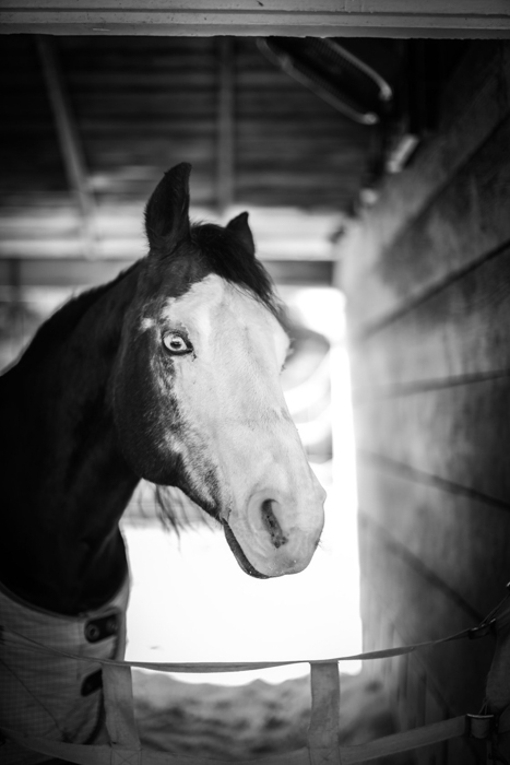Atmospheric black and white horse portrait of a white faced horse looking toward the camera