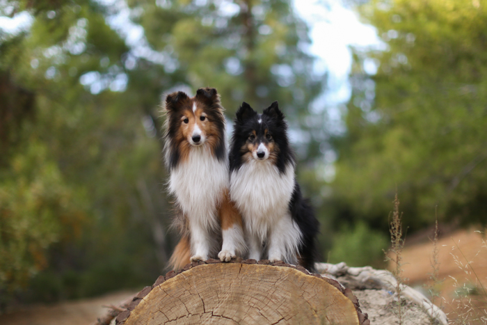 Cute portrait of two dogs posed on a tree stump and looking at the camera