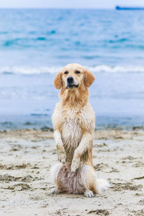 Cute portrait of a Labrador on a beach - pet photography cheat sheet