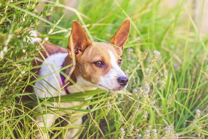 A small brown and white dog in tall grass - pet photography cheat sheet