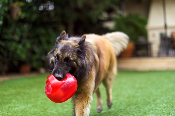 A brown dog playing with a red ball