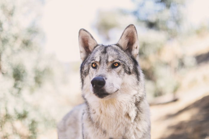 A wolf like dog looking past the camera - pet photography cheat sheet