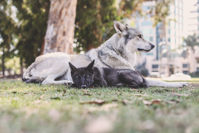 A small brown dog and large grey dog relaxing on grass - pet photography cheatsheet