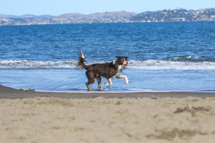 A dog running on the beach, get the most from a pet photography cheatsheet
