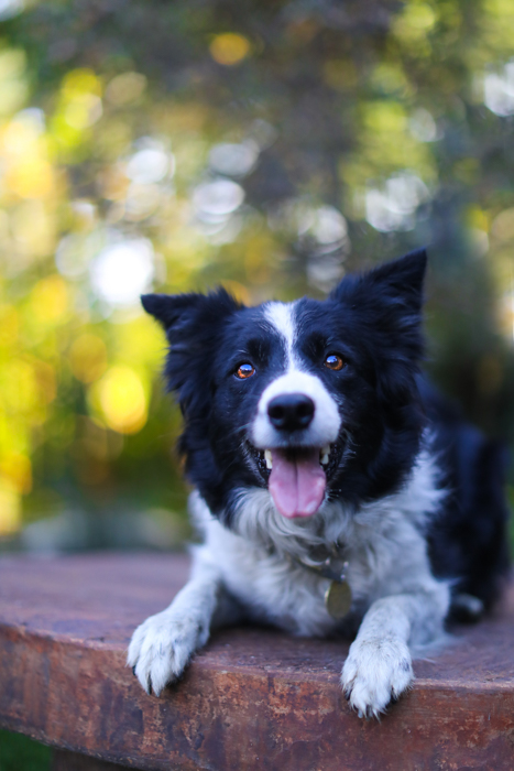 Close up pet photography portrait of a Border Collie dog lying on a stone table