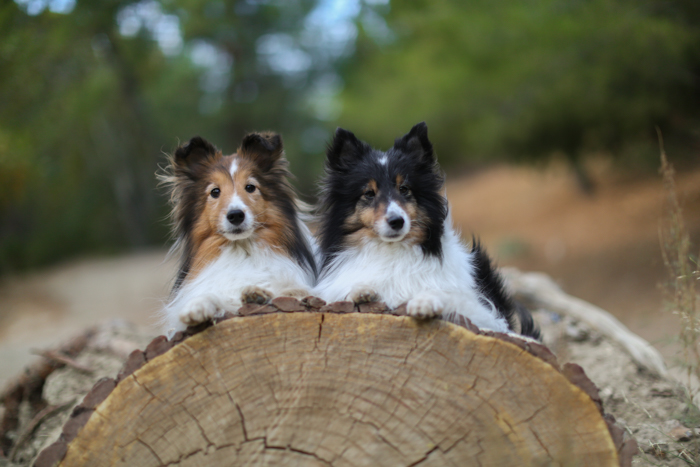Cute pet portrait of two dogs sitting on a wooden log looking at the camera - pet photography equipment