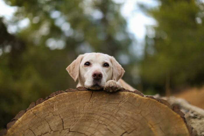 Serene pet portrait of dog sitting on a wooden log looking at the camera - pet photography equipment