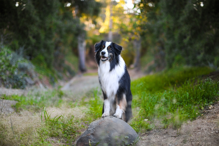 A pet photography portrait of Border Collie dog sitting outdoors looking at the camera - pet photography equipment