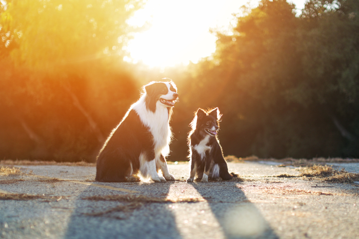 Sweet pet photography portrait of two dogs sitting at sunset