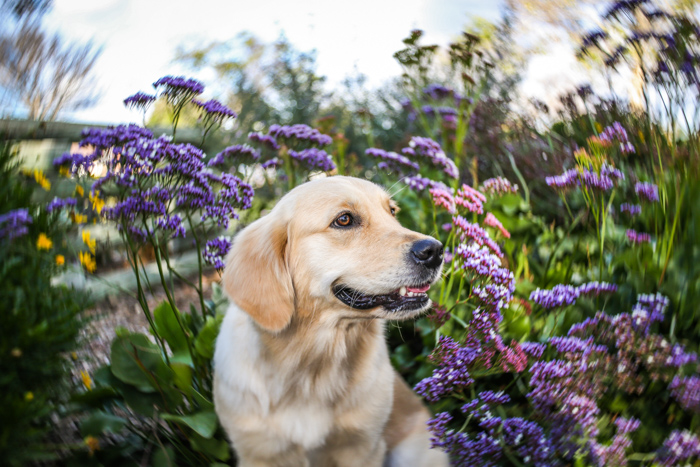 Close up pet photography portrait of a Labrador dog standing in front of a blurry background of purple flowers and foliage - pet photography equipment