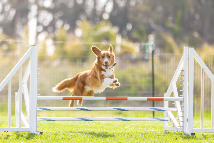 Cute pet photography of a brown dog jumping an agility jump