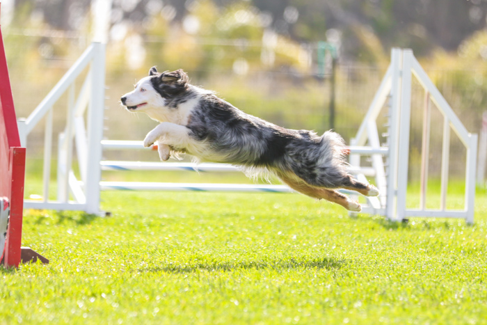 Cute pet photography of a small dog jumping an agility jump