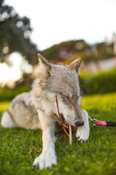 Close up pet photography portrait of a wolf like dog lying on grass