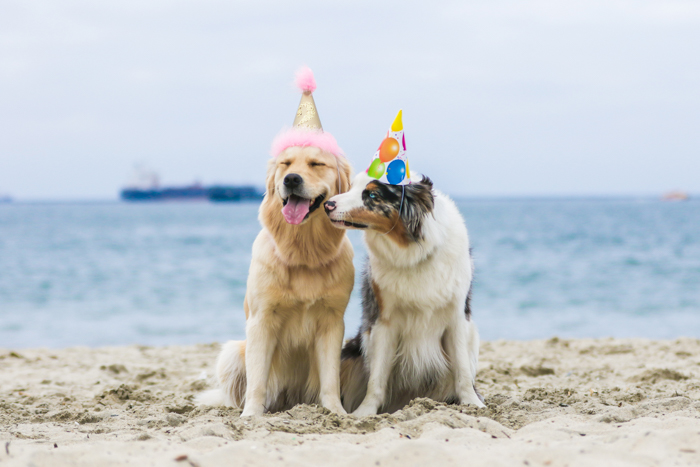 Cute and fun pet portrait of two dogs on the beach wearing party hats - pet photography equipment