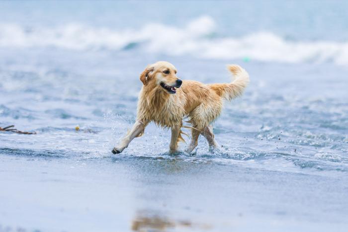 Cute pet portrait of a dog running on a beach
