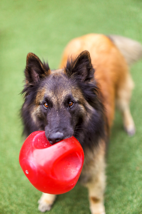 Fun pet portrait of a dog holding a red ball looking up at the camera - pet photography equipment