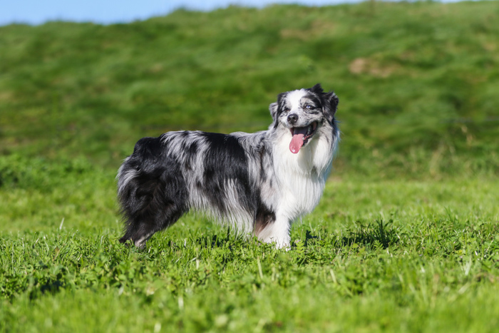 Bright and airy portrait of dog standing outdoors in grass looking at the camera