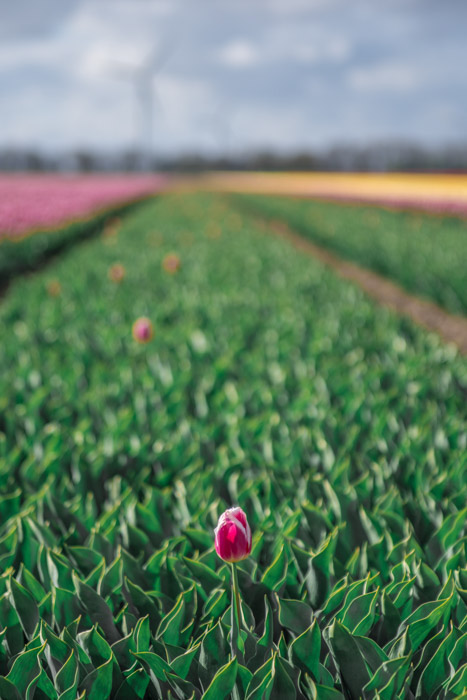 A tulip in the foreground of a large field - Focal Weight Balance