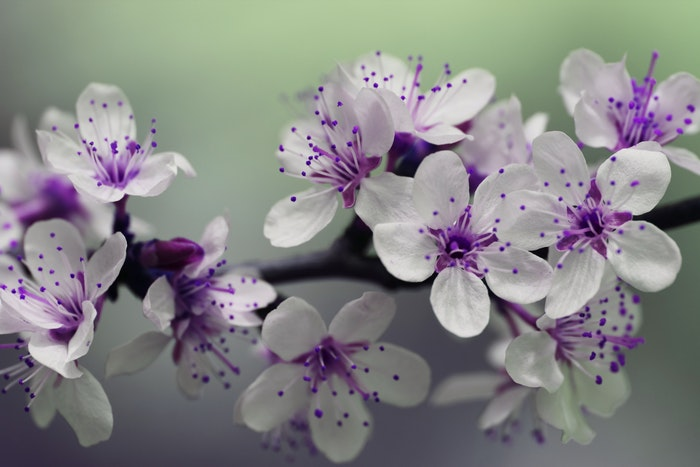 Macro photo of purple and white blossoms