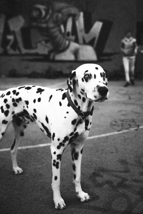 A black and white photo of a Dalmatian dog