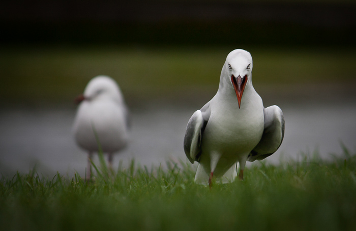 Photo of two seagulls taken with a Canon 450D and 55-250 lens.