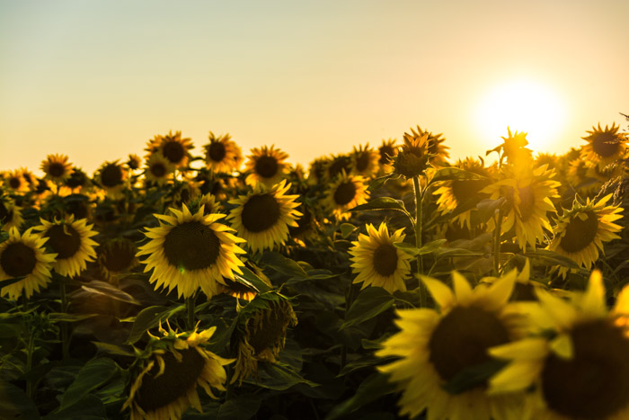 Dreamy photo of a garden of sunflowers at sunset