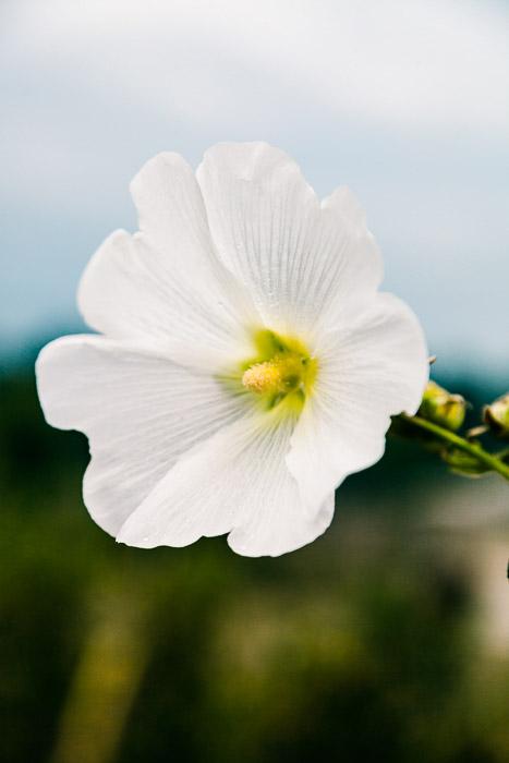 Still life macro photography of a single white blossom.