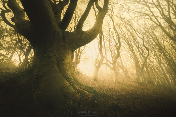 """Ether tree photo of an old beech in the late afternoon sunlight after a fogbank drifted in from the sea near """"Bergen"""" in the Netherlands."""