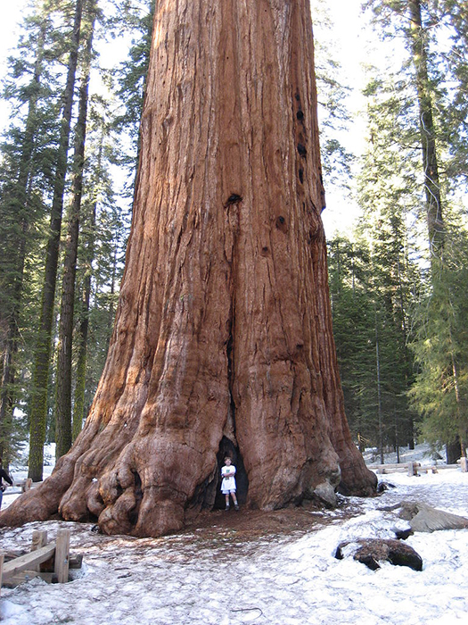 A forest photography portrait of a man standing in front of General Sherman, the largest tree by volume in the world.