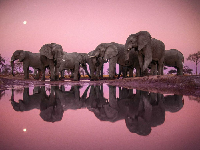 Frans Lanting stunning shot of a herd of elephants gathered around water. The pink sky and the herd are reflected in the water below.