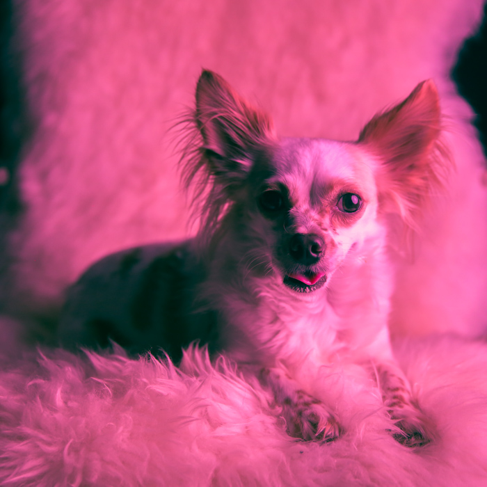 A pink toned portrait of a little dog sitting on a fluffy chair