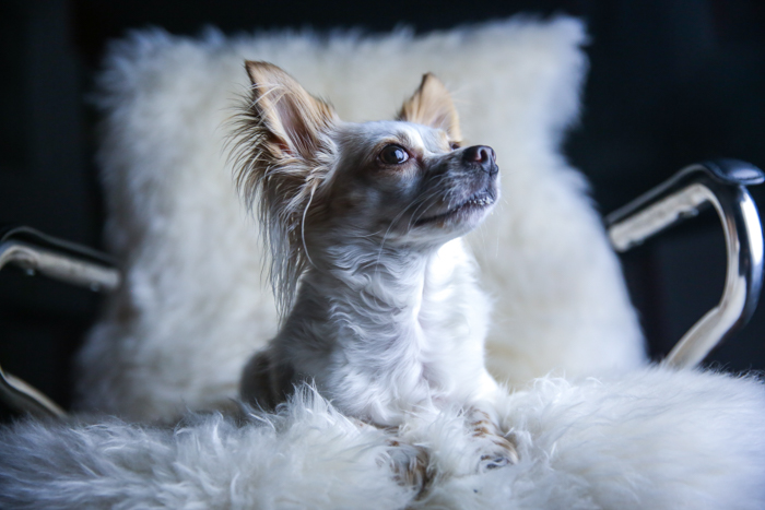 A small white and brown down sitting on a fluffy chair - pet portrait lighting.