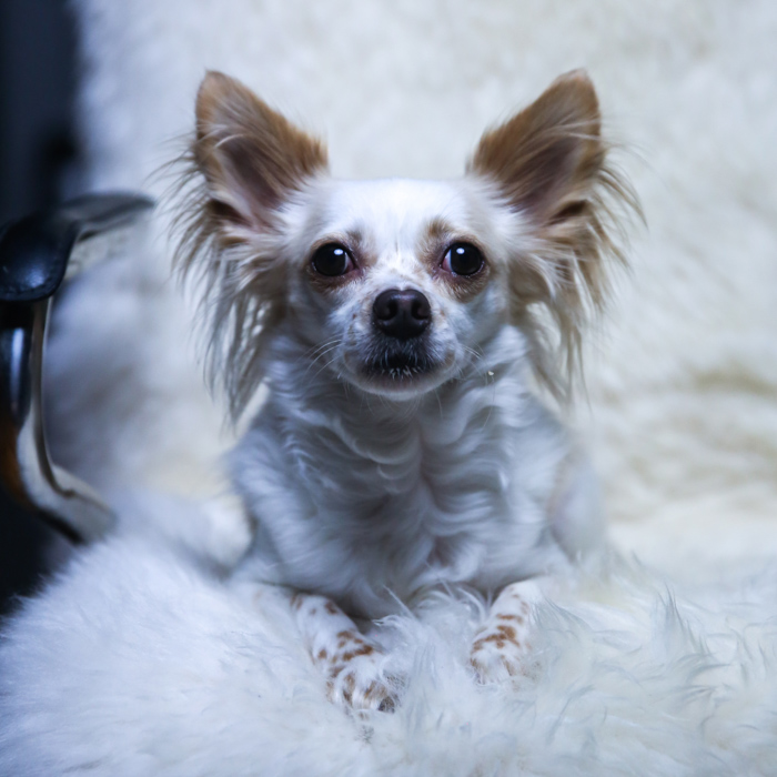 A small white and brown down sitting on a fluffy chair facing the camera- pet portrait lighting.