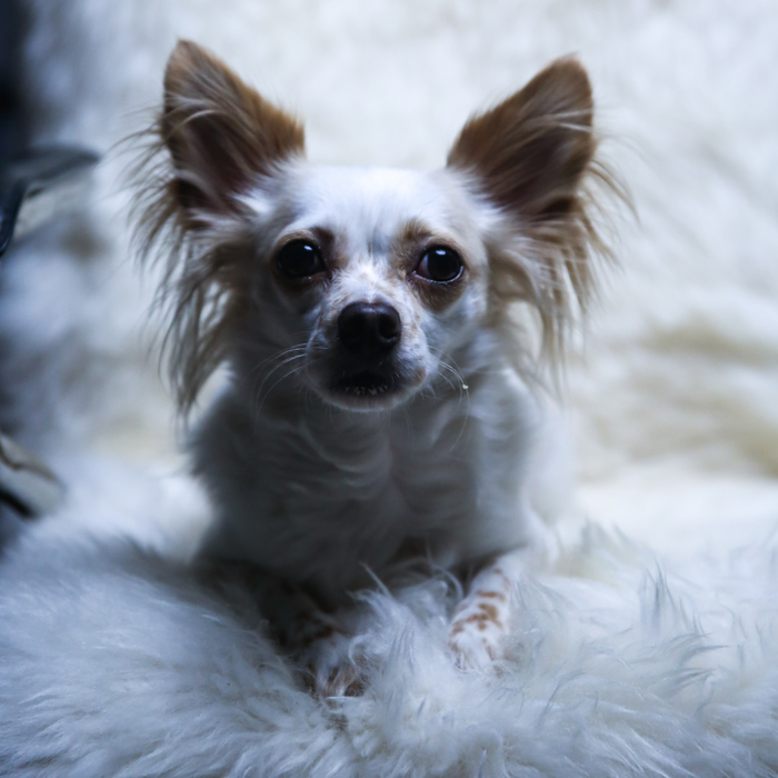 A small white and brown down sitting on a fluffy chair - examples of pet portrait lighting.
