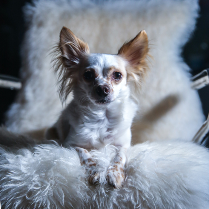 A small brown and white dog sitting on a fluffy chair, lighting tips for pet photography.
