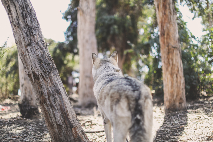 A wolf like dog standing in a forest looking away from the camera - pet photo perspective