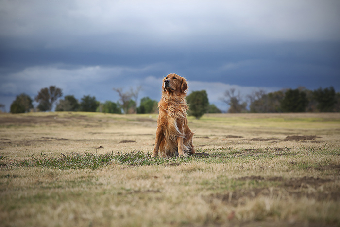 A brown dog sitting in field looking away from the camera - pet photo perspective