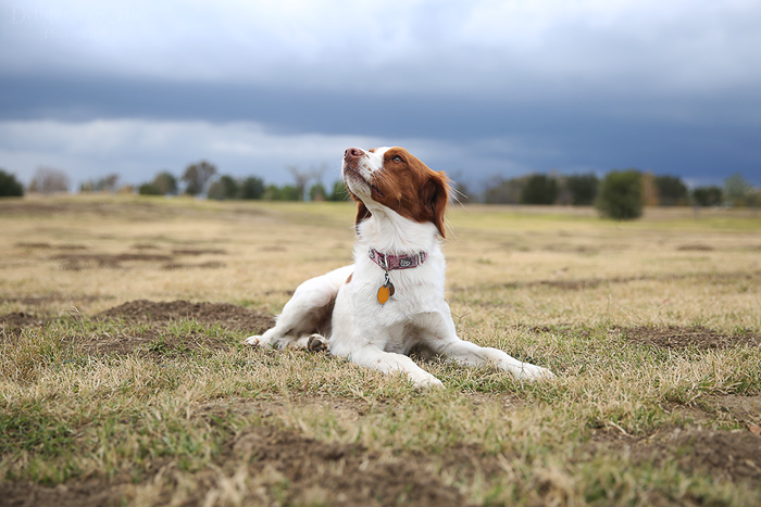 Pet photography perspective example of a brown and white dog lying down on grass on an overcast day