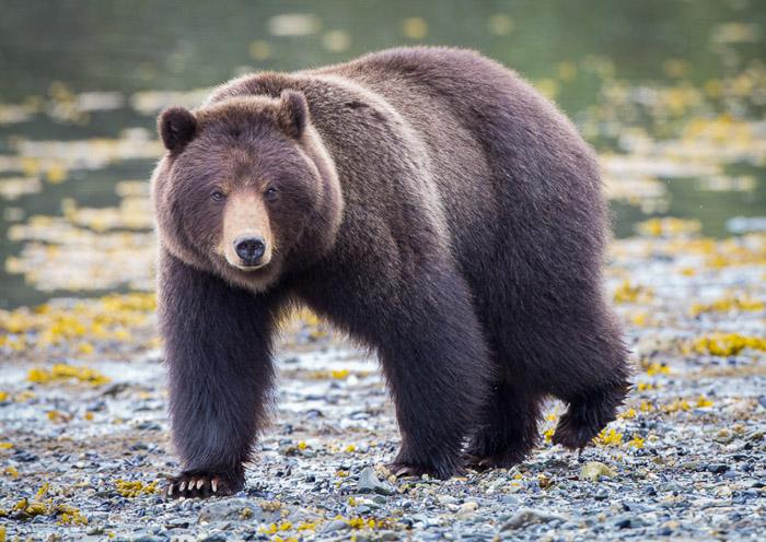 A large bear walking towards the camera