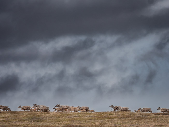 A wildlife photography shot of a herd of caribou migrating on a stormy day