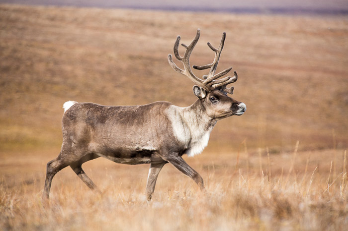 Caribou on the coastal plain of the Arctic National Wildlife Refuge, Alaska. Sigma 150-600 Sport for Canon.