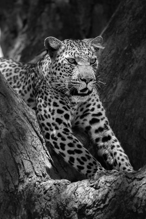 A black and white portrait of a leopard taken with a wildlife lens