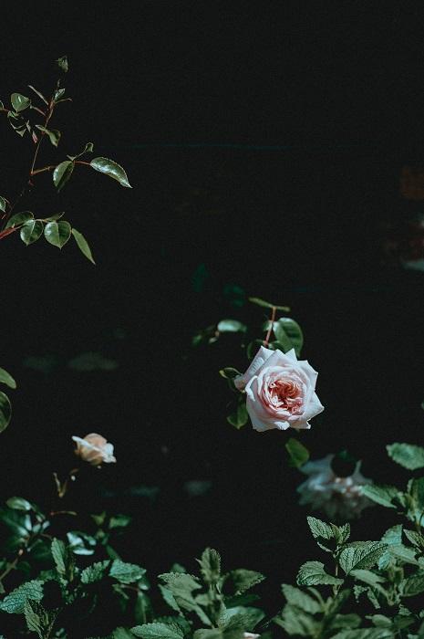 A pink rose on a bush