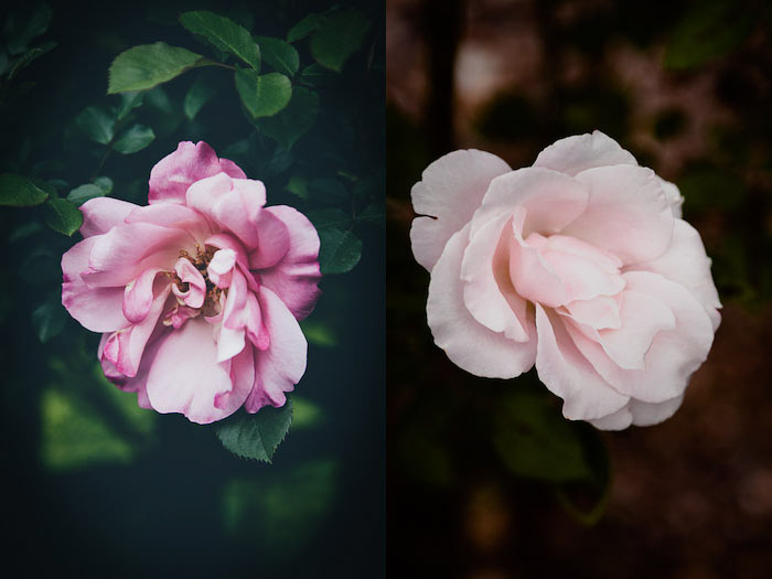 Pink rose flower photography diptych