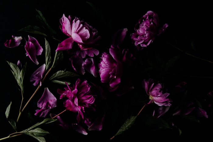 Atmospheric overhead flower photography shot of pink peonies